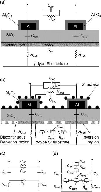 a new interdigitated array microelectrode